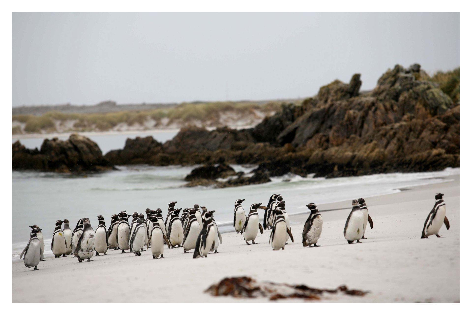 Pingüinos en la playa de Pto. Stanley en las Islas Malvinas