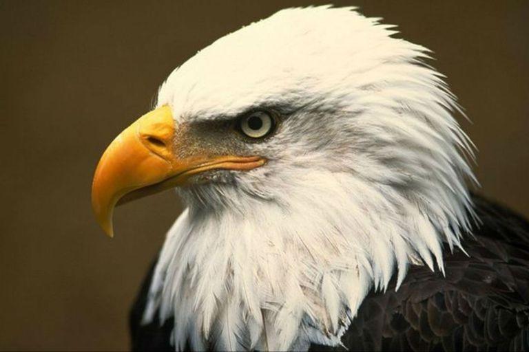 Estados Unidos: un águila derribó un drone estatal y lo arrojó a un lago