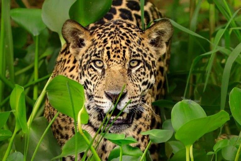 El documental que desentraña la red de traficantes chinos de jaguar en América