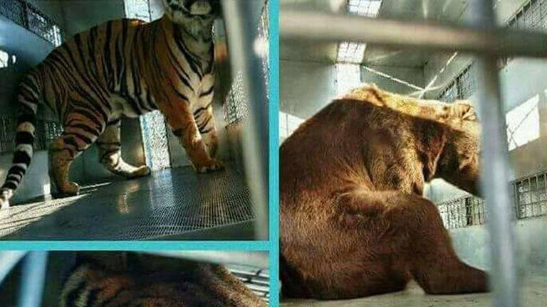 Dos leones, dos osos y tres tigres viajaron en avión