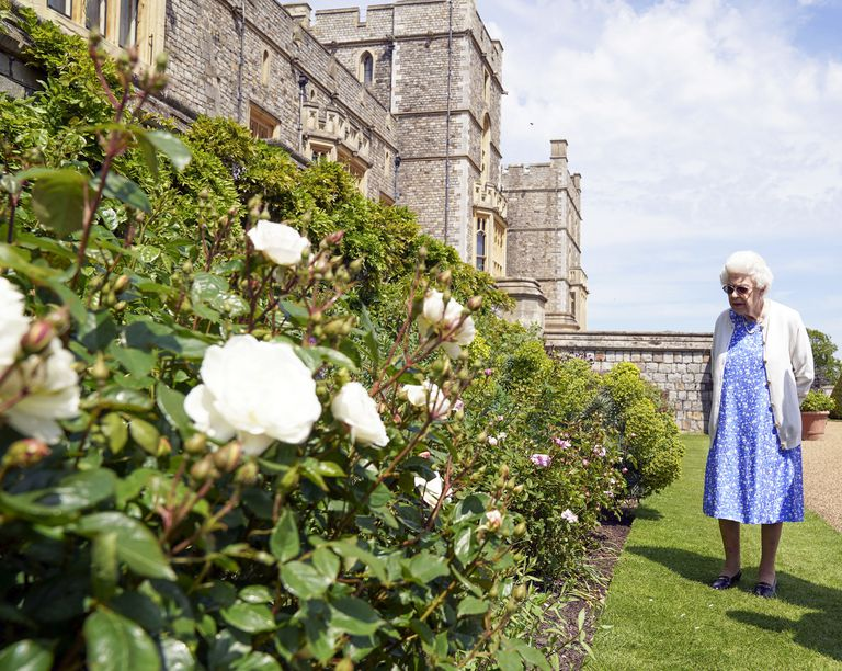 La reina Isabel II de Gran Bretaña inspecciona un rosal después de recibir una Rosa Duque de Edimburgo en el Castillo de Windsor en Inglaterra, el miércoles 9 de junio de 2021. La nueva variedad de rosa fuue nombrada en honor al fallecido príncipe Felipe, duque de Edimburgo. Las ganancias de la venta de la rosa se destinarán al Fondo Award Living Legacy del duque de Edimburgo para apoyar a jóvenes que participan en el programa Premio Duque de Edimburgo. (Steve Parsons/Pool via AP)