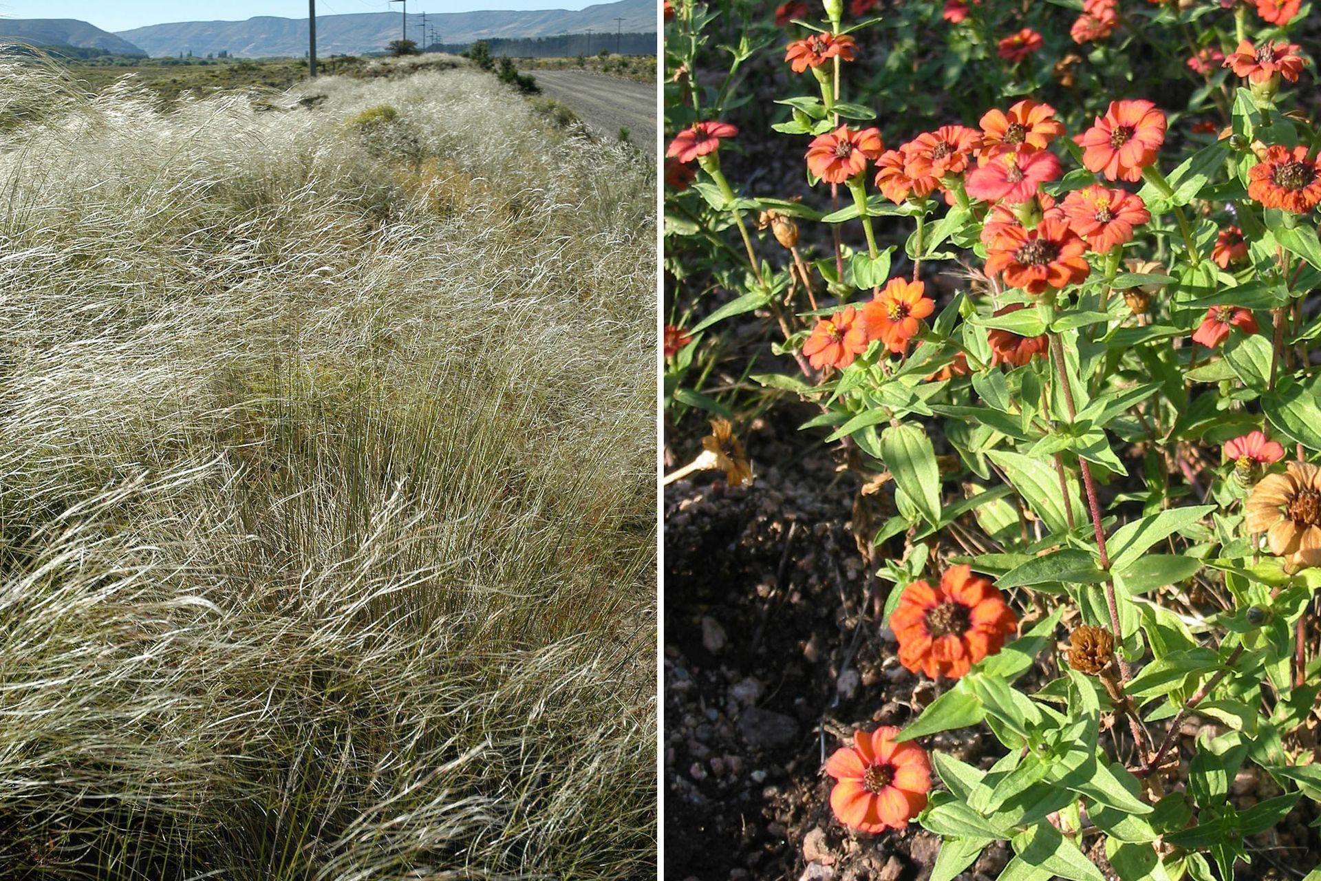 Izquierda: Stipa hyalina (flechilla mansa) Gramínea de aspecto suave que llega a medir hasta 1 m de altura. Sus espigas se encorvan y se presentan desde octubre a marzo. Se propaga por semillas. Derecha:  Zinnia peruviana Planta anual, con hojas opuestas. Sus flores son de color rojo, de 5 cm de diámetro. Necesita pleno sol y suelos bien drenados. Se multiplica fácilmente por semillas.