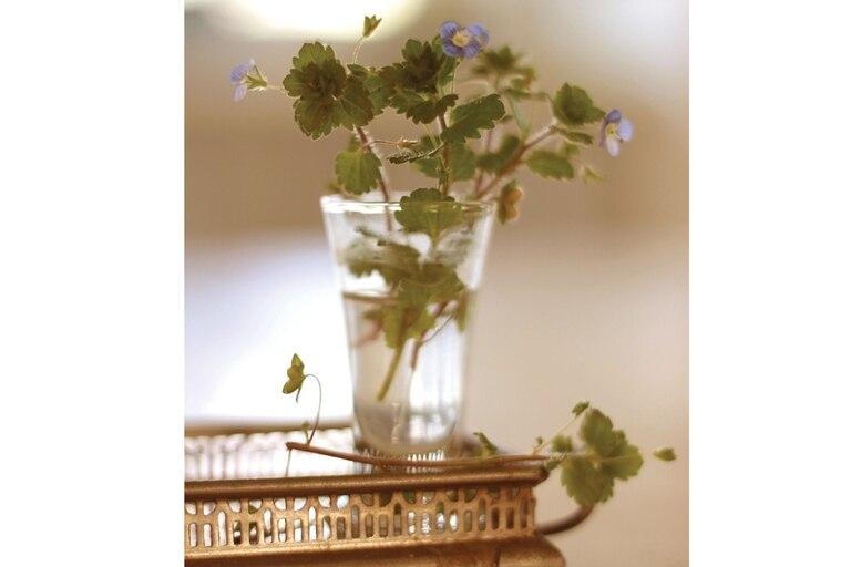 A lo minúsculo de las flores de este sencillo cubresuelos, ningún florero le va mejor que unos vasitos de licor. Como cualquier ramo (pero éste especialmente, porque se pone mustio enseguida), no se debe poner al sol.