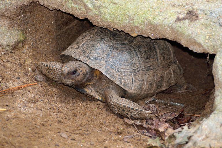 Las tortugas, las más amenazadas por el lagarto overo