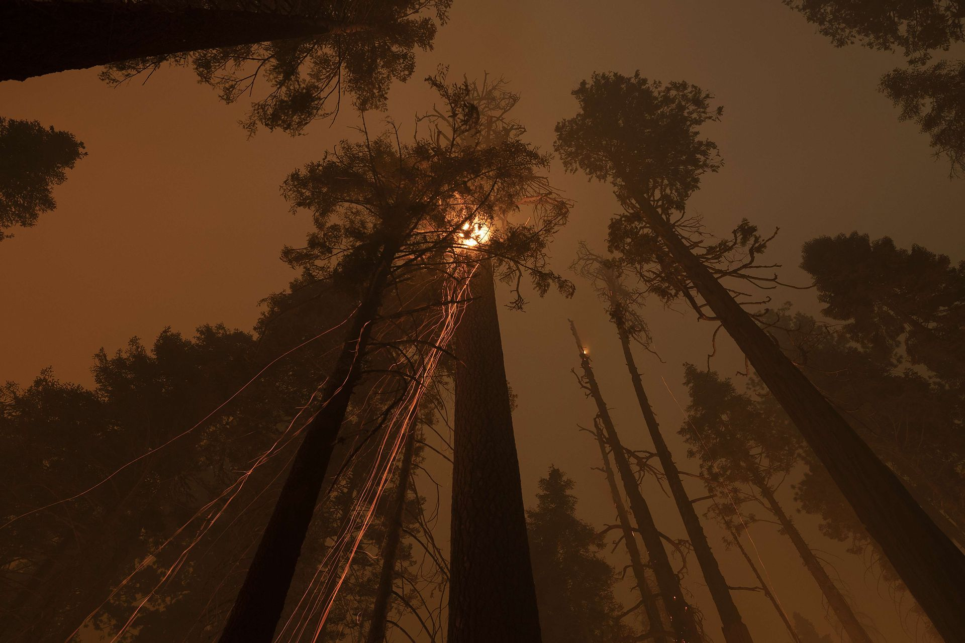 El calor de los incendios forestales ayudó a que los árboles se reprodujeran, pero el aumento de la intensidad del fuego ahora puede matarlos