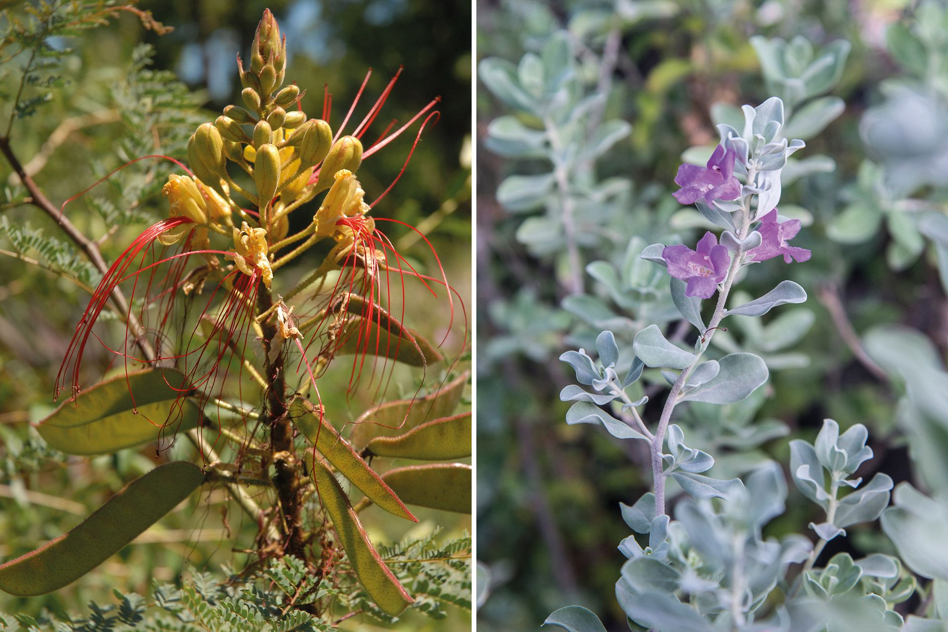 Mal de ojos (Erythostemon gilliessi) requiere riego escaso. La salvia tejana (Leucophyllum frutescens 'Compacta'), otro arbusto apto para zonas áridas, necesita riego medio a bajo.