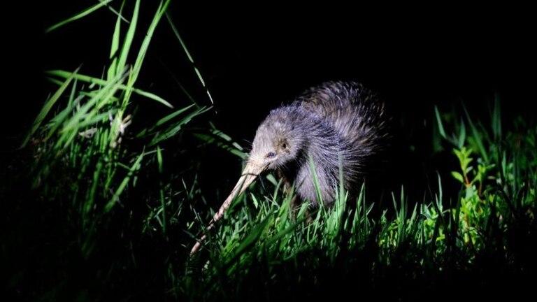 Posiblemente debido a un capricho de la geología, el pariente más cercano del enigmático pájaro kiwi proviene de Madagascar.