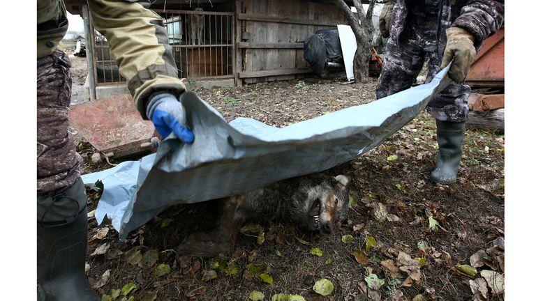 Los cazadores cubren un lobo muerto después de la caza en Khrapkovo