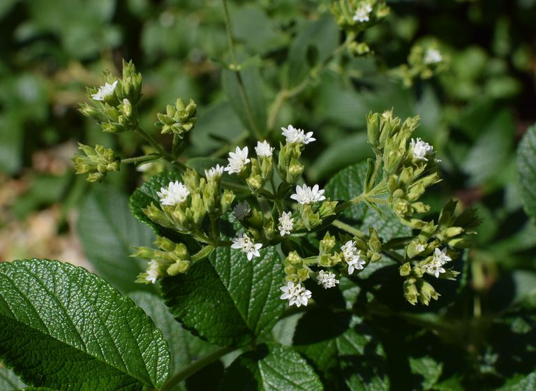 Todo sobre la stevia, el endulzante todopoderoso