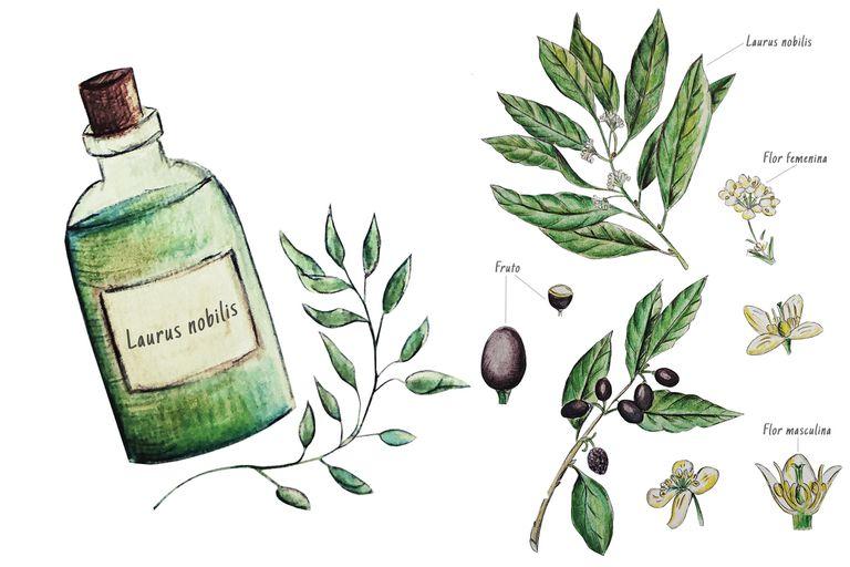 Laurel. Mitos y tradiciones de una planta con muchos usos