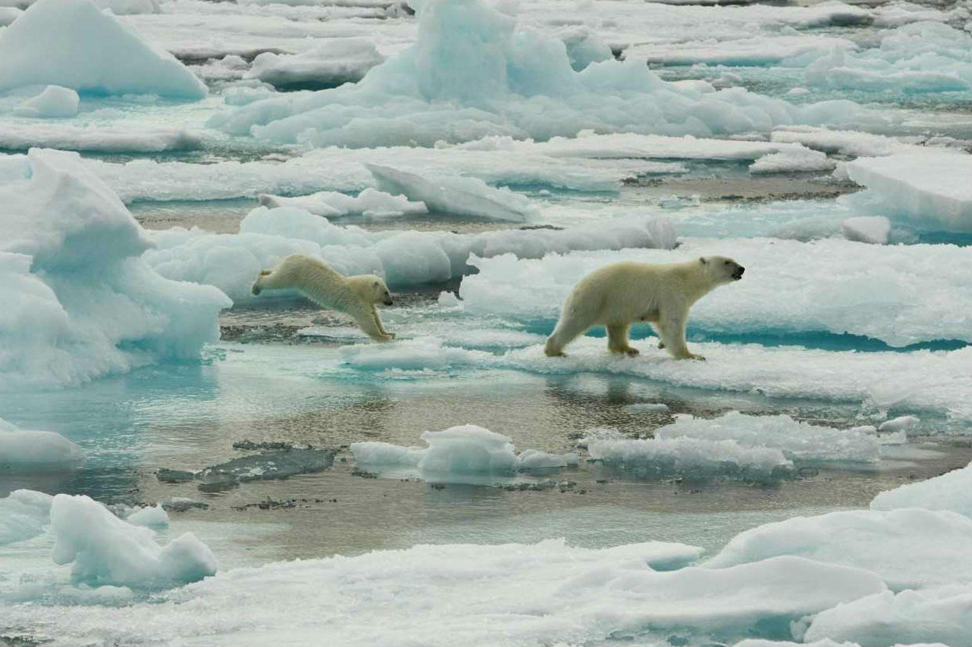 Los osos polares están en peligro