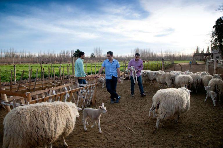 Los tres hermanos Couly en el tambo con el rodeo de ovejas frisonas