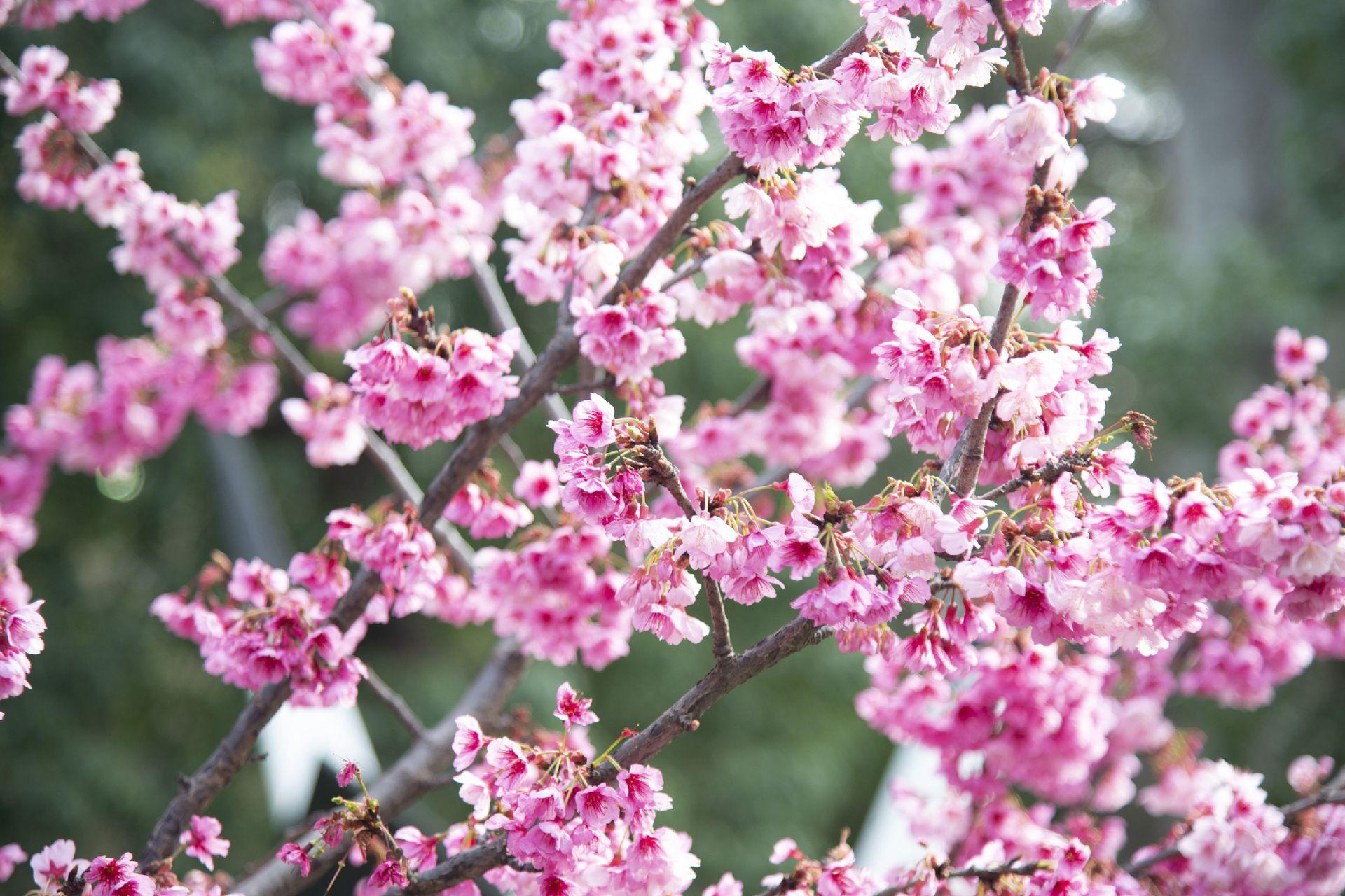 Como cada año, los ejemplares del Jardín Japonés de Buenos Aires florecen en julio y permanecen en flor hasta agosto.