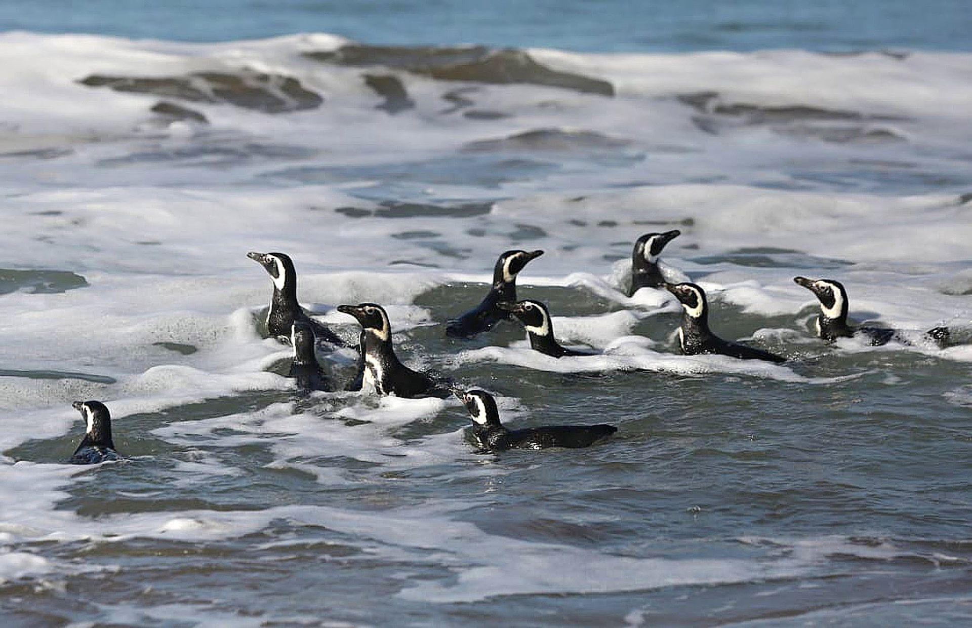 Los pingüinos en su medio natural