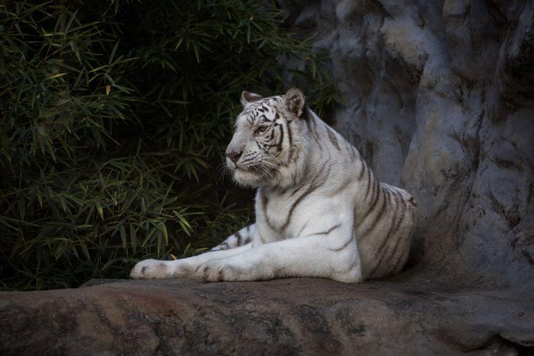 Ecoparque: los dos tigres de Bengala fueron trasladados a Estados Unidos