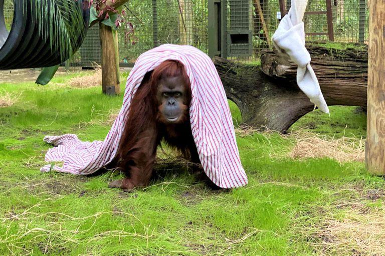La orangutana Sandra está en santuario de Florida después de una larga travesía