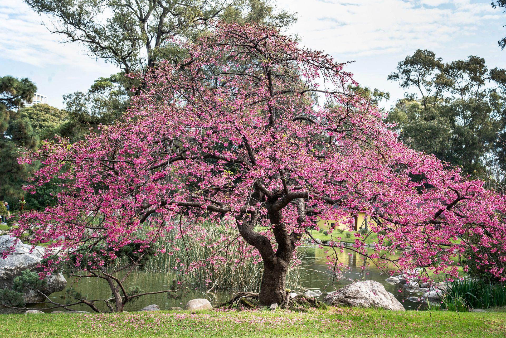 La variedad de cerezos o sakura propia de Okinawa, de flores rosadas en tono más oscuro, fueron traídas al parque porteño desde esas islas de Japón, mientras que las más claras fueron cultivadas en Escobar, provincia de Buenos Aires.