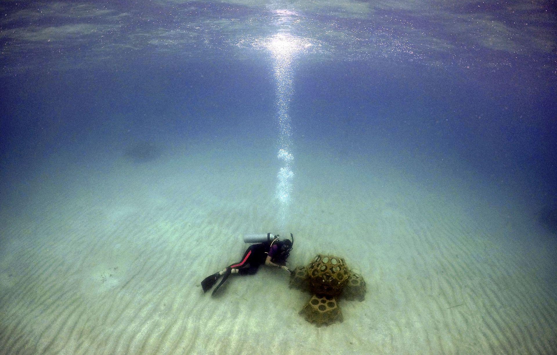 Cada dos semanas, estudiantes de Biología Marina descienden unos cinco metros en el mar para cuidar un vivero de coral de la especie Cuerno de Ciervo (Acropora Cervicornis), con el que pretenden restaurar los arrecifes dañados por el cambio climático y la contaminación, en Portobelo, Panamá