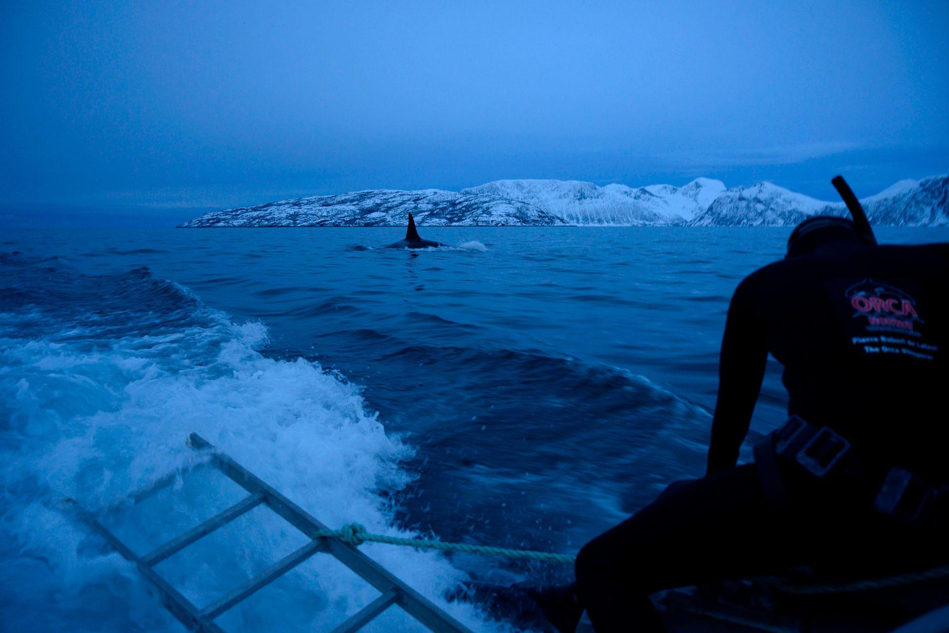 El experto en orcas francés Pierre Robert De Latour se prepara para bucear mientras una orca masculina nada en el mar de Noruega, el 14 de enero