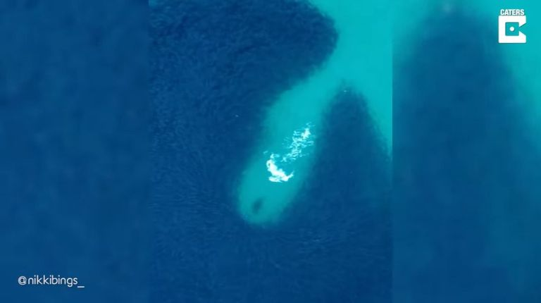Este es el hipnotizante momento en que una foca hambrienta intenta cazar su desayuno en las aguas de Australia