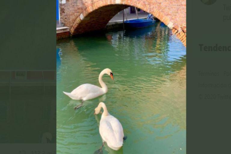 Los patos y cisnes se pasean por los canales sin temor del tránsito de vehículos.