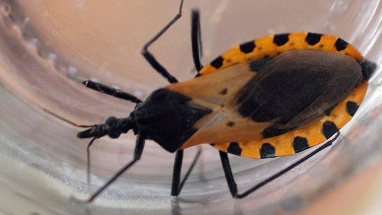Una vinchuca, el insecto que transmite el mal de chagas