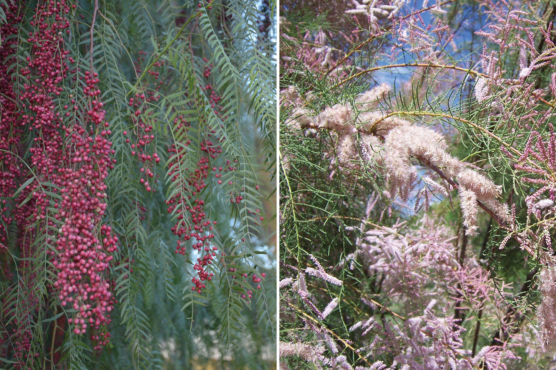Aguaribay (Schinus areira) y tamarindo (Tamarix ramosissima), dos árboles para secano que alcanzan hasta 20 y 8 metros de altura, respectivamente.