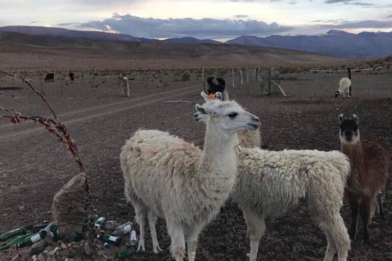La llama es muy importante para la cultura andina, los viene vistiendo y dándoles de comer hace miles de años.