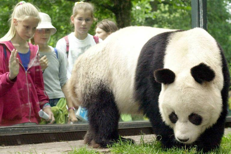 Los expertos afirman que el país consiguió salvar a su emblemático animal gracias a sus esfuerzos de conservación a largo plazo