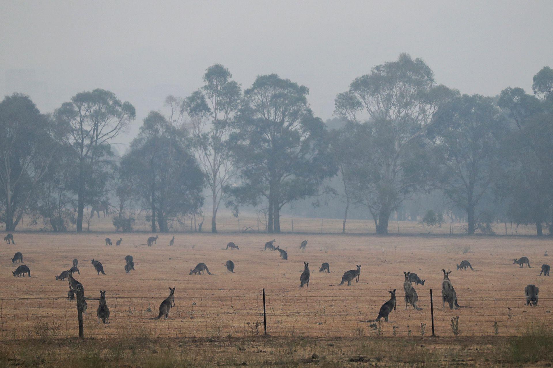 Los canguros pastan en un campo mientras el humo envuelve la capital australiana de Canberra, Australia, el 1 de enero de 2020.
