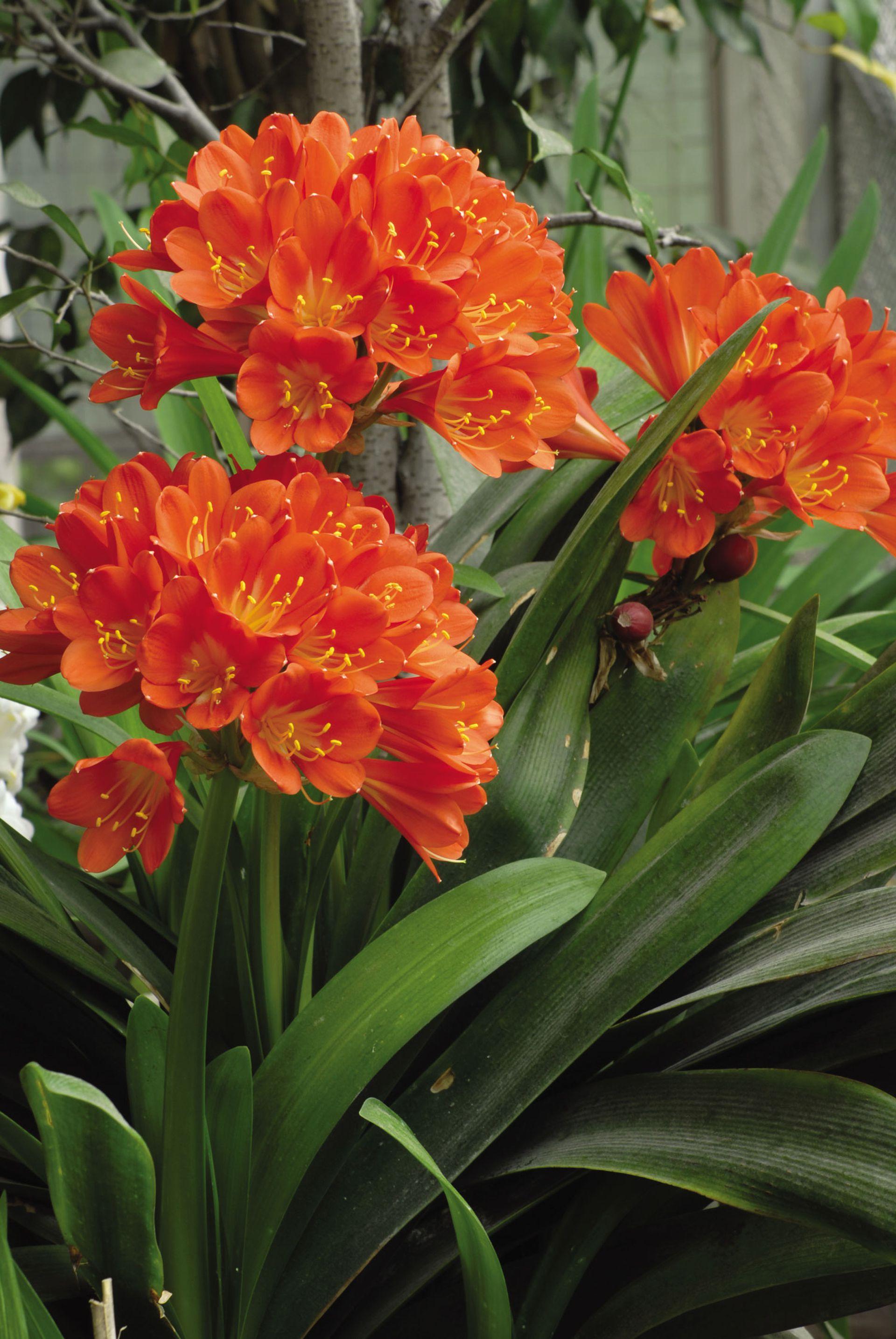 La clivia crece bien debajo de árboles o en jardines sombreados, dando una nota de color en una época de pocas flores. Se puede cultivar en maceteros.