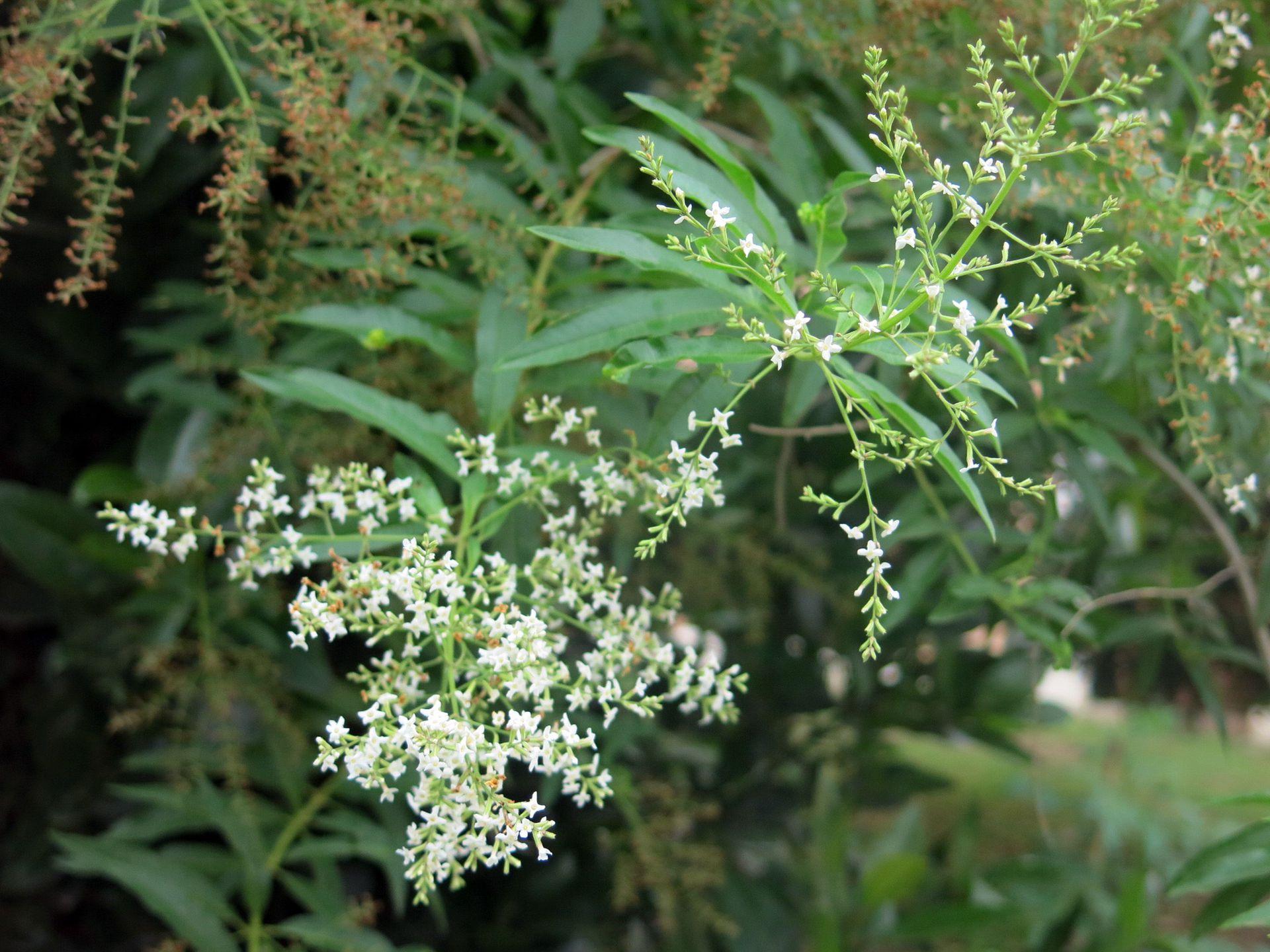 Cedrón, exquisita hierba para tragos e infusiones con muchas propiedades medicinales.