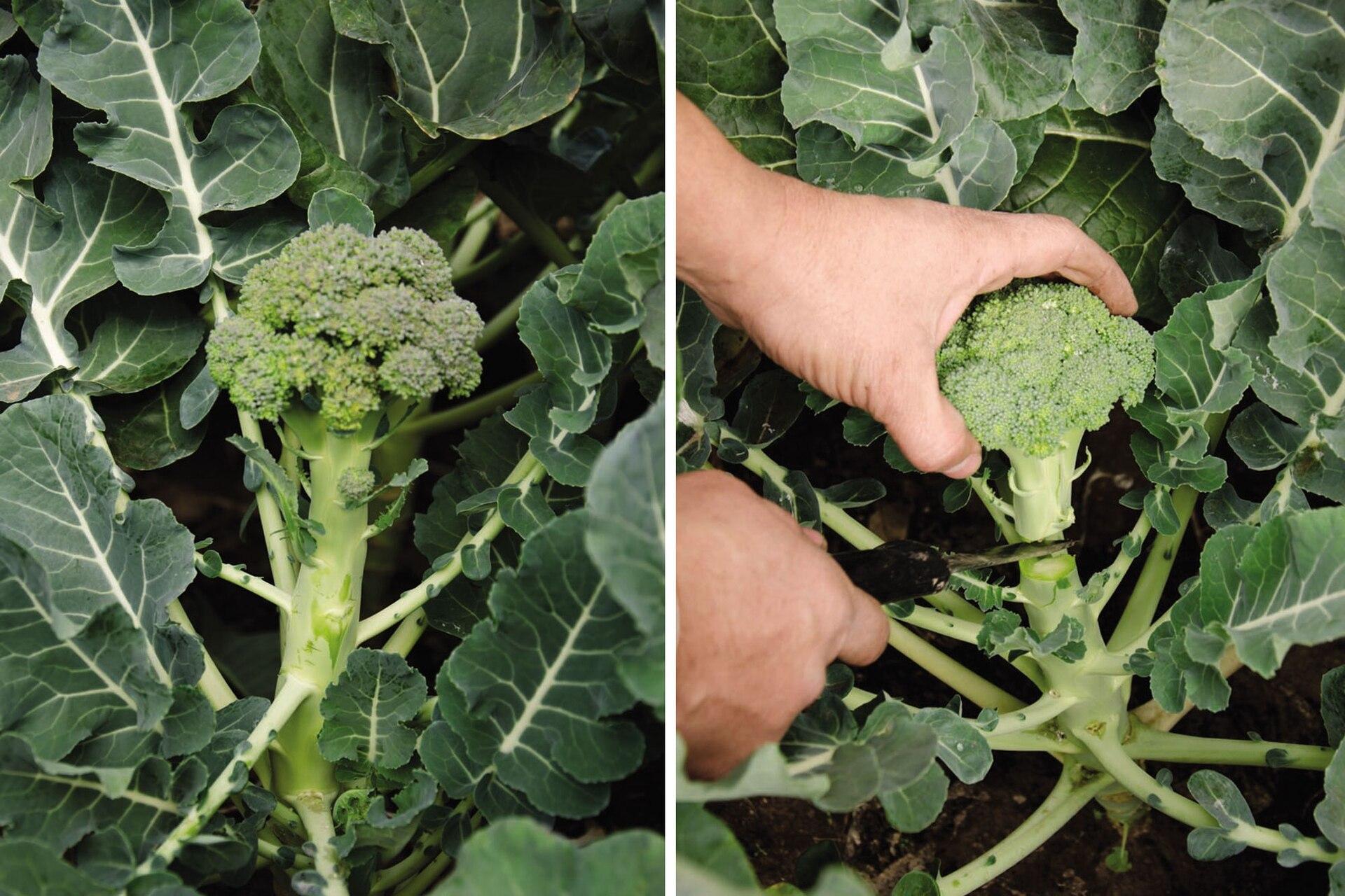 Una ración de 200 gramos de brócoli cubre las necesidades diarias de vitamina C y de ácido fólico de un adulto, las dos terceras partes de vitamina A, y es fuente de calcio, potasio, fósforo, hierro y vitaminas B1, B2 y B6.