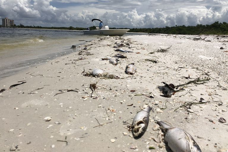 El fenómeno oscurece el agua salada, agria el aire y mata a los delfines, tortugas marinas y peces a un ritmo implacable