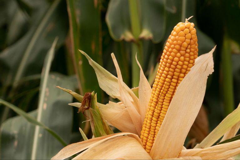 El maíz tiene derechos de exportaciones de 12%