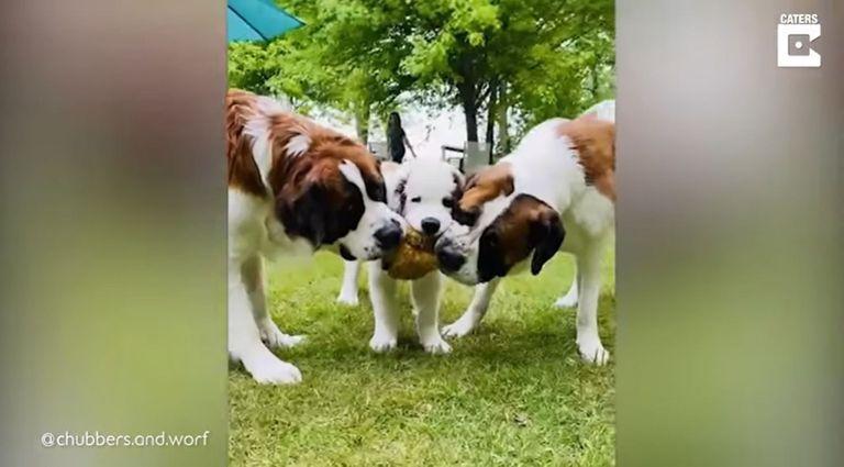 09-06-2021 Tres bulliciosos San Bernardo jugando y peleando todo el día son la alegría de una mujer de Gibbon, Minnesota.  MADRID, 9 jun. (EDIZIONES) Brittney Kosack, gestora de proyectos, de 36 años, de Gibbon (Minnesota, EE UU), es feliz propietaria de tres perros San Bernardo: Chubbers, Worf y Odo.  SOCIEDAD YOUTUBE - CATERS - @CHUBBERS.AND.WORF