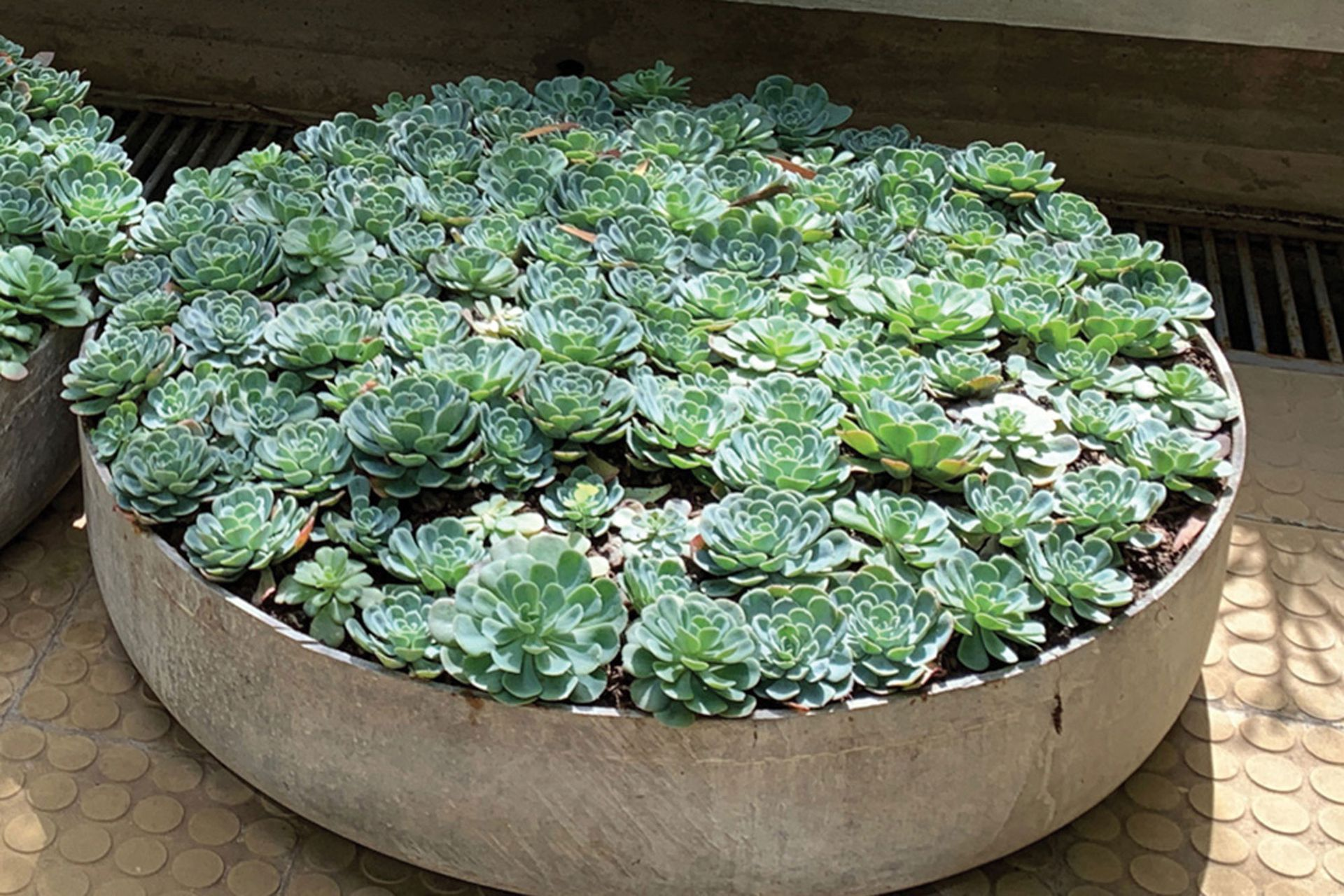 Echeveria secunda. Como las otras suculentas, se pueden multiplicar por semillas, gajos, hojas y tallos.