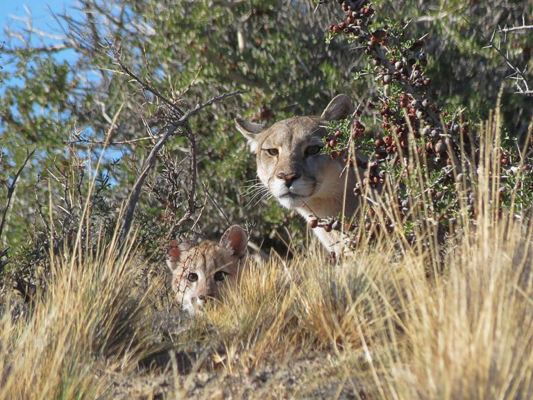Piden derogar una ley que premia la caza de pumas y zorros