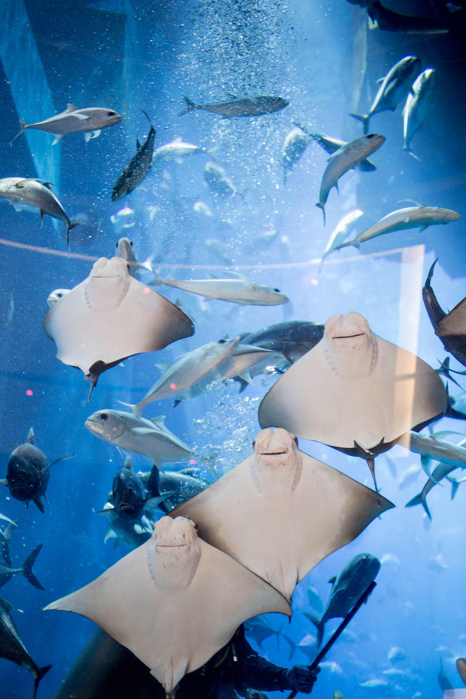 Rayas en el acuario del Dubai Mall.