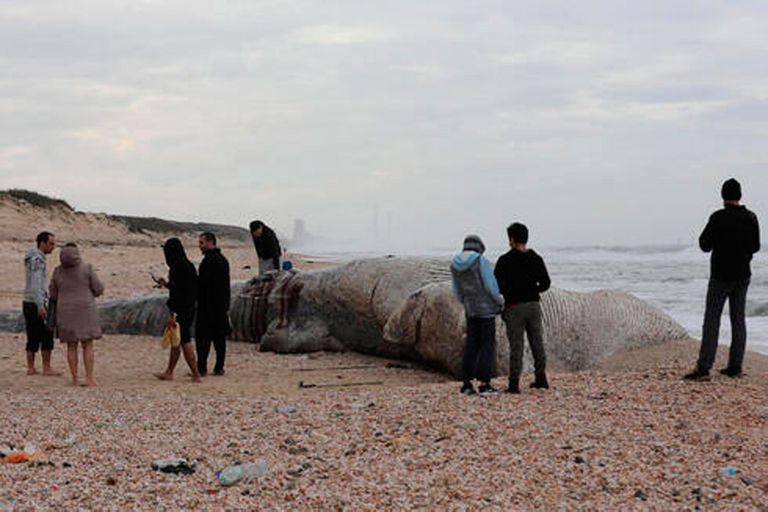 El ejemplar hallado era un macho de ballena de aleta, que puede crecer hasta más de 20 metros de largo y es el segundo animal más grande del mundo, solo detrás de la ballena azul