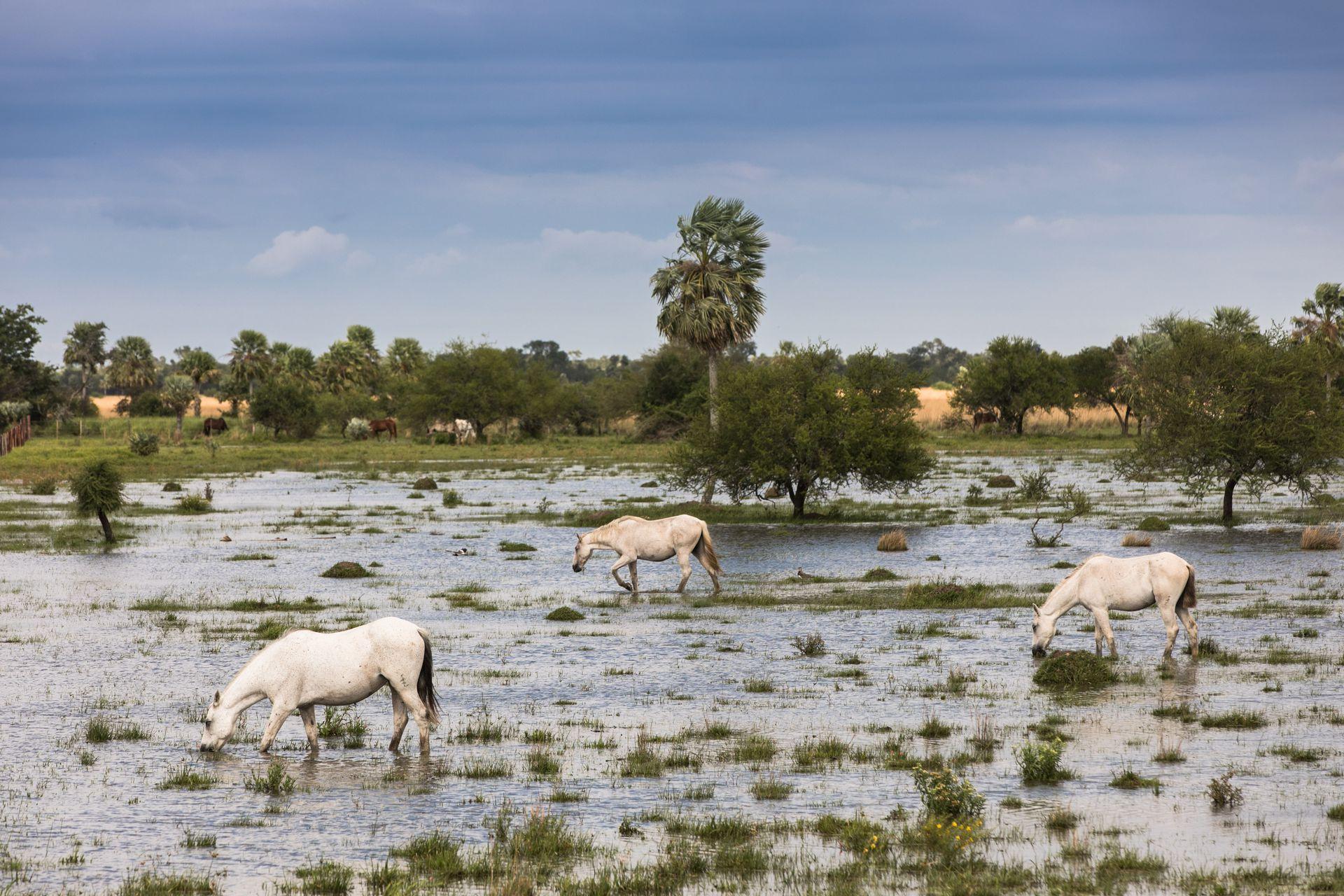 Los caballos pastan y beben en las zonas más bajas de la laguna.