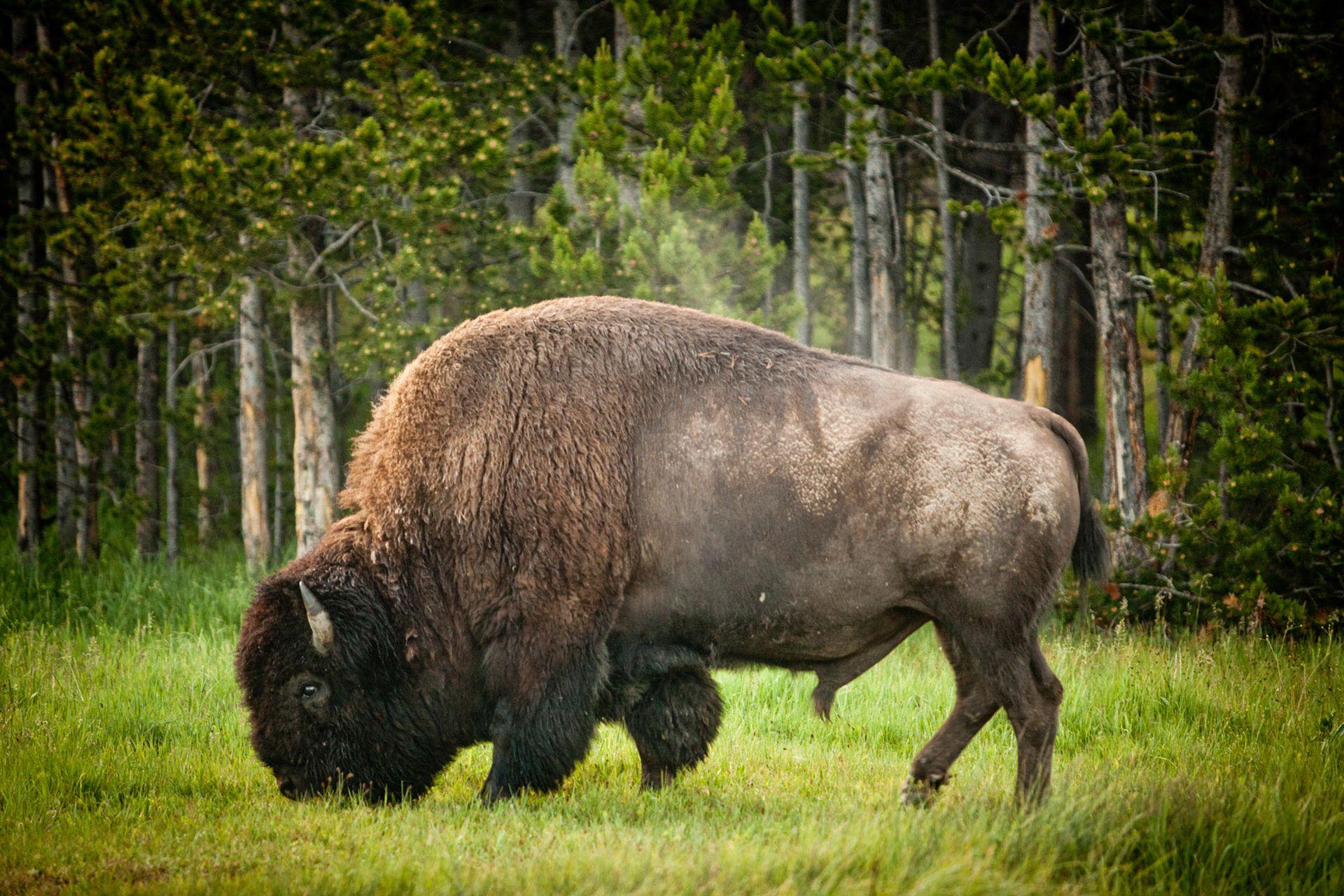 Bisonte pastando al costado de una de las rutas que atraviesan el parque nacional más popular de Estados Unidos.