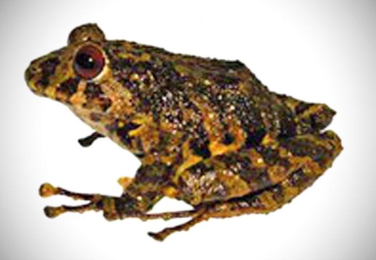 Encuentran una nueva especie de rana y la nombran Led Zeppelin