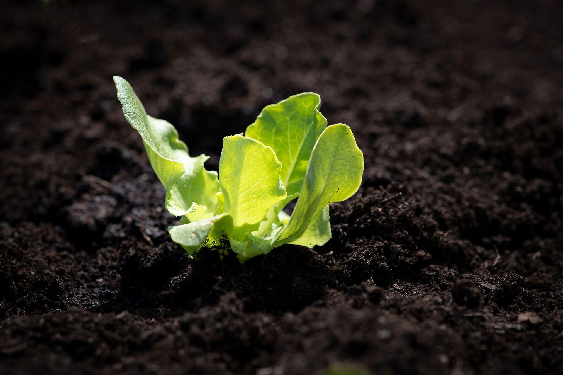Un buen sustrato es fundamental para el buen desarrollo de las lechugas. Si presenta exceso de abonos nitrogenados o de compost fresco, pueden aparecer pulgones. El exceso de riego y la humedad promueven podredumbres y el ataque de babosas.