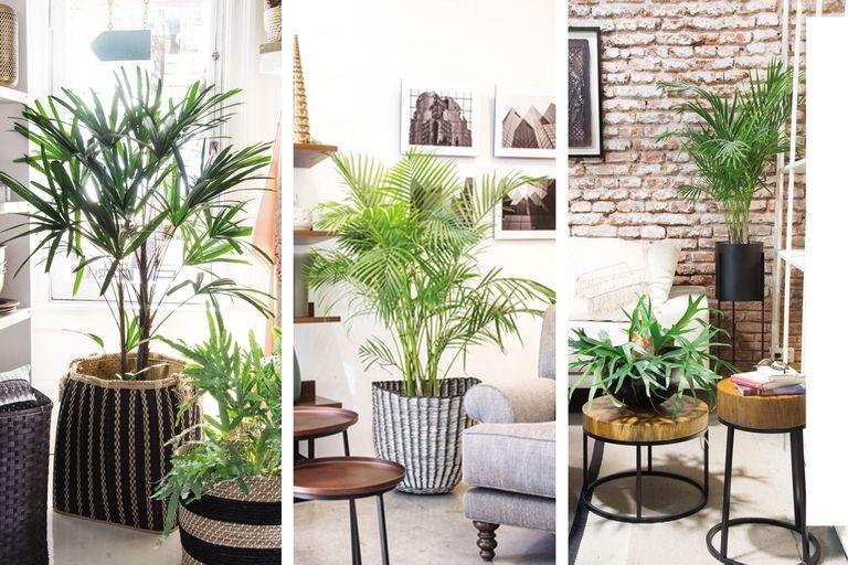 Qué palmeras podés cultivar adentro de tu casa