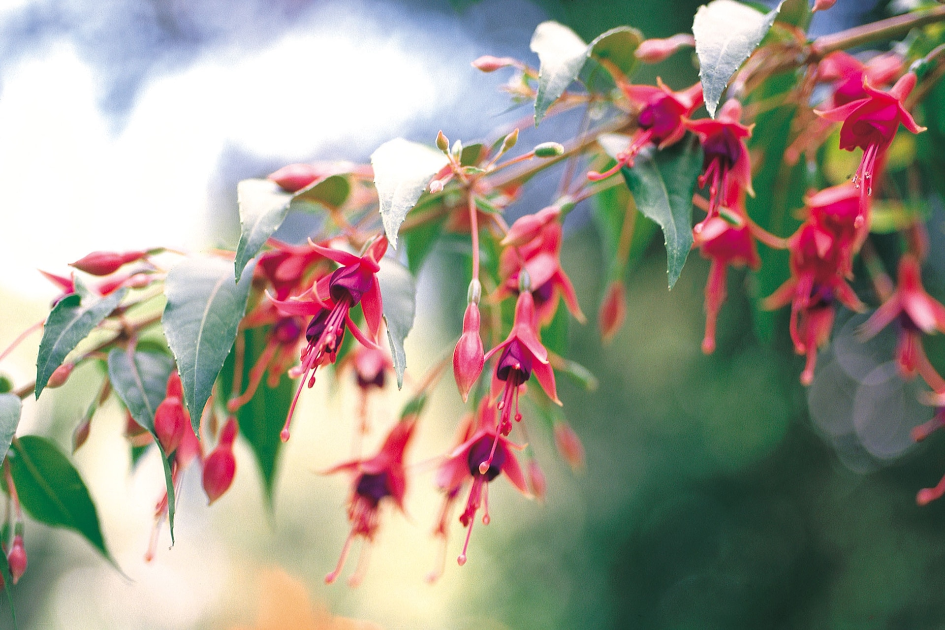La aljaba o chilco, de nombre científico Fuchsia magellanica, es una planta nativa de los bosques patagónicos.