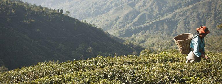 En busca del té perfecto: una odisea en tren y jeep a Darjeeling