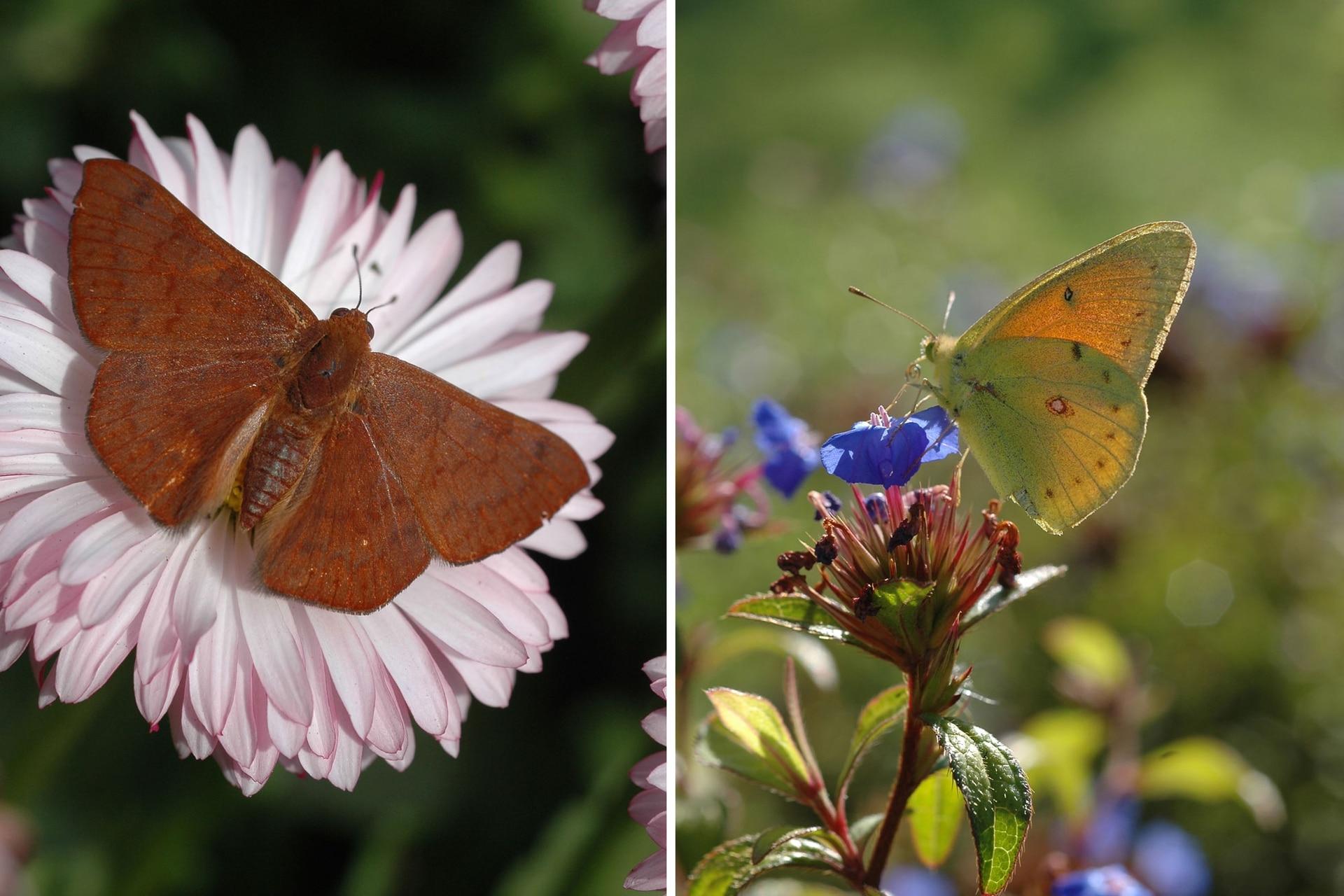 """Izquierda: Una mariposa """"acróbata rojiza"""" (Emesis russula) se posa sobre una coqueta. Derecha: Una """"isoca de la alfalfa"""" (Colias lesbias) macho liba las flores de Ceratostigma plumbaginoides que aparecen entre el fin del verano y el otoño."""