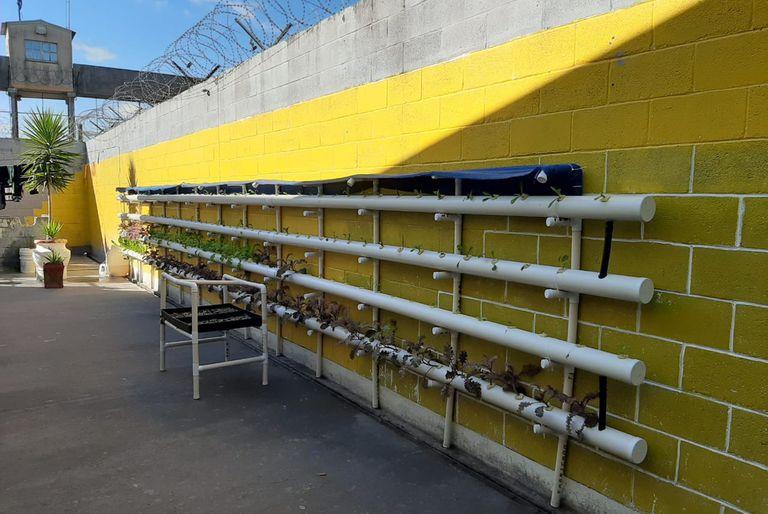 En la cárcel. Producen verduras en una huerta hidropónica