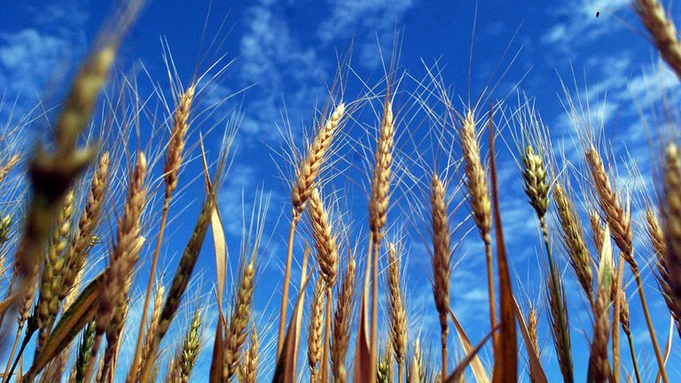 El producto que hizo punta en las subas de la Bolsa de Chicago fue el trigo